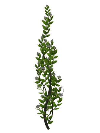 White roses and green vine on a white background Standard-Bild