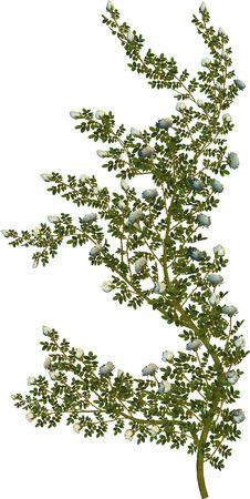 White roses and green vine on a white background Zdjęcie Seryjne