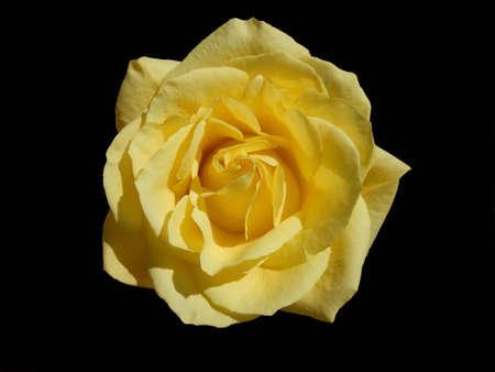 yellow rose isolated on black photo