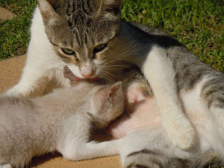 breastfeeding mother cat and little kitten photo