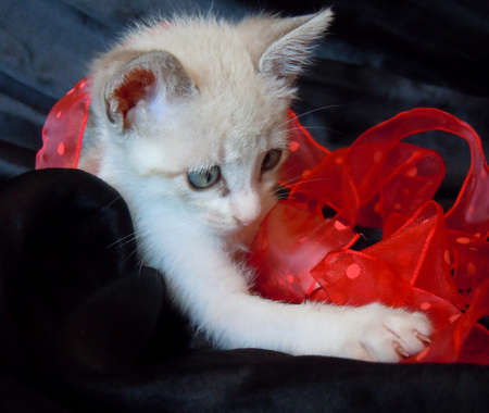 little kitten and red ribbon photo