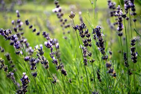 Lavender field - idyllic picture