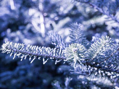 frosted fir twigs - winter in the garden 版權商用圖片
