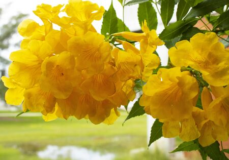 Close-up photograph of some beautiful yellow flowers hanging from the tree on a cloudy day