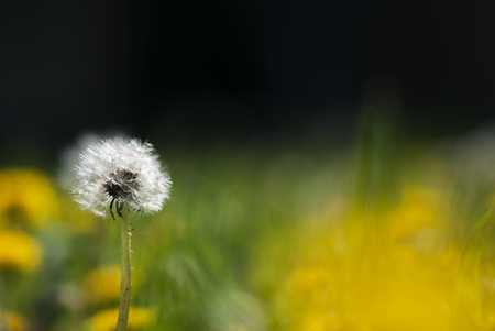 stands: A dandelion seed head stands above a field of yellow blooms.