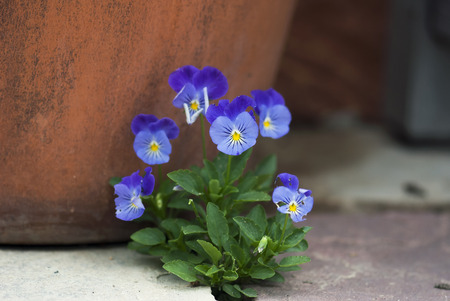 violas: A bunch of purple violas bloom against a terracotta pot.
