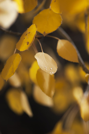 A golden aspen leaf is sprinkled with dew drops in autumn.