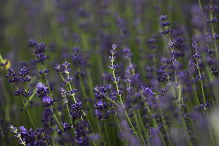 Purple lavender buds prepare to bloom.