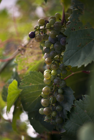 Grapes ripen on the vine in late summer. Stock Photo