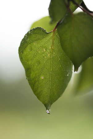 tip of the leaf: A water drop from a summer rain hangs off the tip of an apricot leaf.