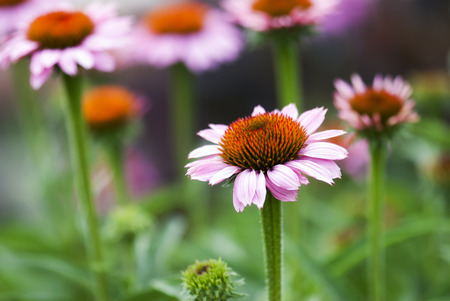 A pink coneflower begins to bloom on a summer afternoon.