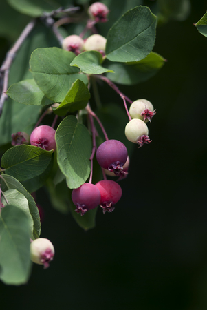 crab apple tree: Pink, white, and purple crab apples ripen on the branch against a dark background. Stock Photo