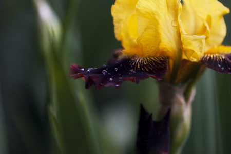 Water drops rest on the petals of a yellow and purple iris bloom.