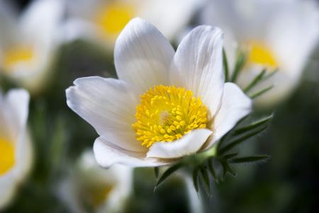 A white pasque blooms in springtime.