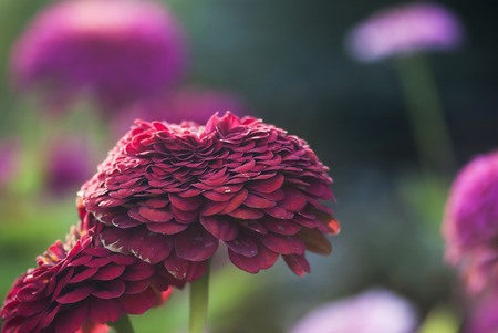 ruffle: Red zinnia flowers bloom in a garden on a summer afternoon. Stock Photo