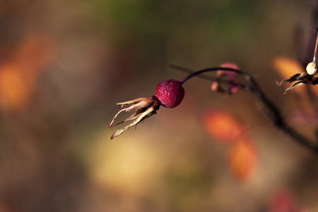A dried rose hip hangs from a branch in late autumn.
