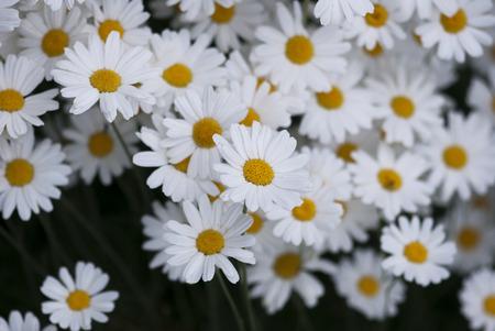 Daisy flowers bloom in a summer garden. Stock Photo