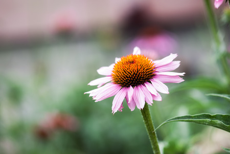coneflowers: A pink coneflower blooms in a summer garden. Stock Photo