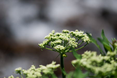 Wild, green cow parsnip buds prepare to bloom in the Colorado Rocky Mountains.