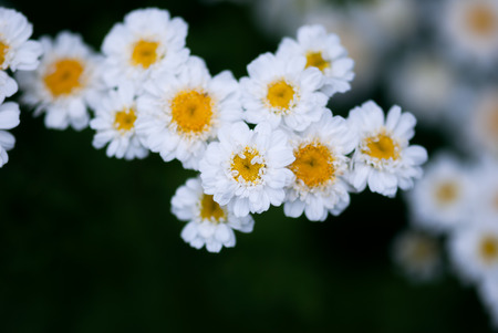 A cluster of white chamomile flowers against a deep green background.