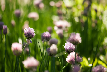 Purple chive flowers bloom in the summer sunlight of an herb garden. Stock Photo