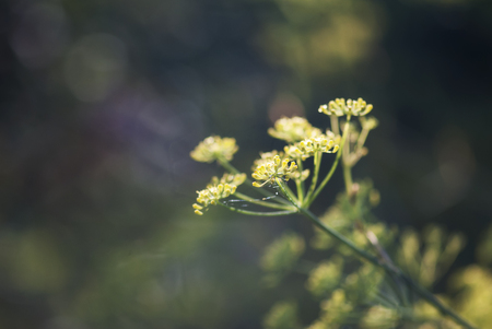 A dill plant perpares to bloom in an herb garden. 写真素材
