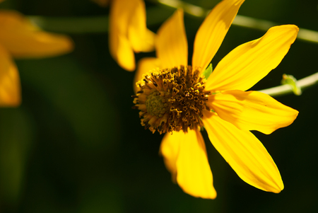 A closeup shot of a vibrant, yellow flower glowing in the summer afternoon sunlight. Imagens