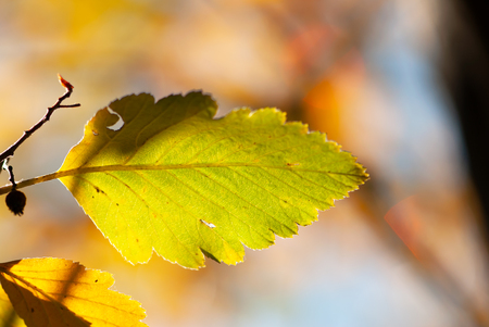 A green leaf turns to yellow in early fall.
