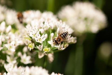A busy bee pollinates a white allium flower in a summer garden.