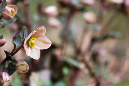 A light pink lenten rose flower blooms in early spring. Stock Photo