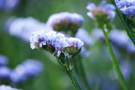 Soothing purple flowers bloom against peaceful greens in a summer garden.