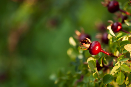 A vibrant, red rose hip grows against the green leaves of a rose bush at the end of summer. Stok Fotoğraf