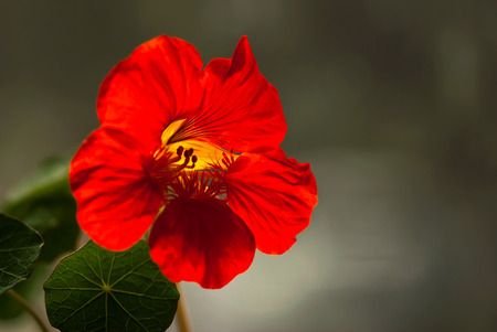 A bright, red nasturtium flower blooms against a neutral brown background. Stock Photo