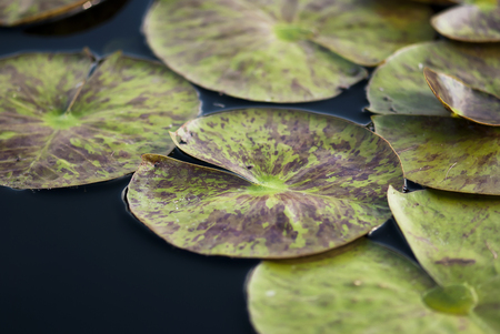 Green waterlily pads, speckled with purple, grow on a pond in summer. 免版税图像
