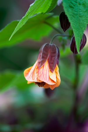 A delicate, coral colored flowering maple bud opens in summertime.