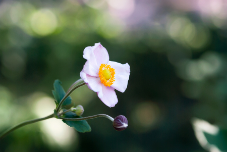 A light, pink Japanese windflower blooms in a summer garden. Stock Photo