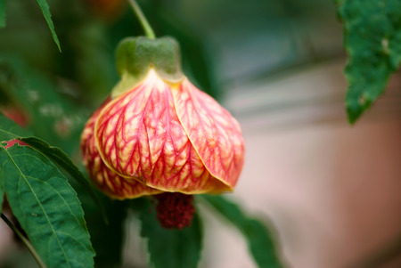 A vibrant, color colored flowering maple bloom hangs from a branch in a summer garden.