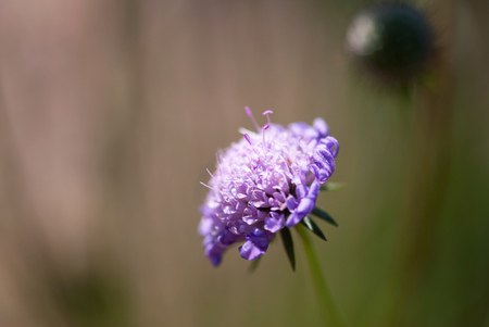 A purple pincushion flower blooms against a brown and green background in summertime. Stock Photo