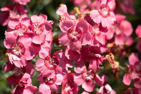 A cluster of brightly colored pinks bloom in the summer sunshine.