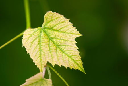 A grape leaf, with a light pink blush, grows on the vine with a green background in a summer vineyard.