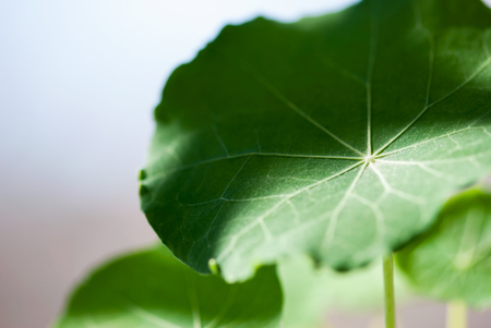 Light and shadow dance across the surface of a green nasturtium leaf. Archivio Fotografico