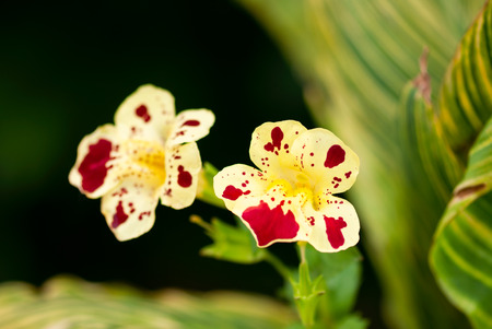 A yellow monkey flower, with red splashes, blooms against a green and black background.