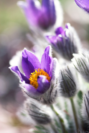 A purple pasque flower glows in the spring sunlight.
