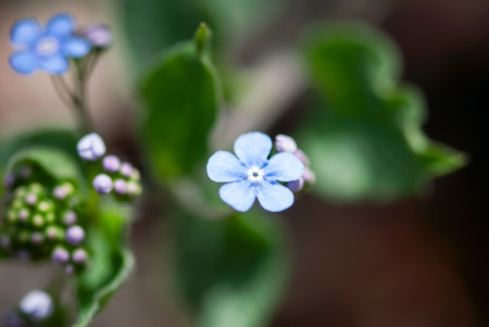 A single, blue bugloss flower blooms in a woodland garden in springtime.