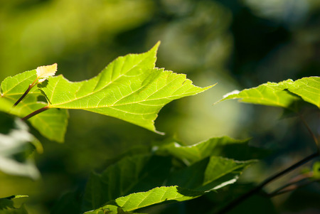 A glowing, green maple leaf grows on the branch in springtime. Banco de Imagens