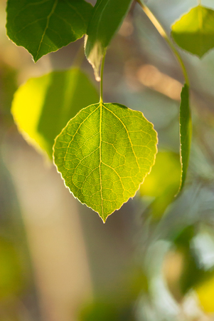 A peaceful, green aspen leaf glows in the afternoon sunlight.  Banco de Imagens