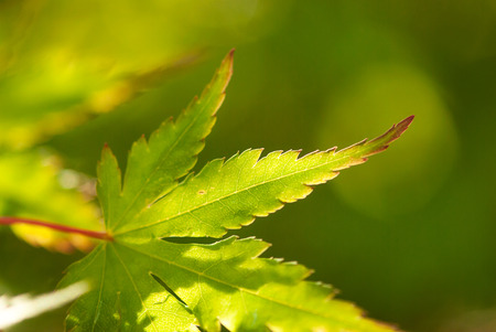 A closeup shot of a green, Japanese maple leaf lined in russet red.