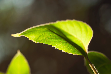 A glowing, green sunflower leaf grows in summertime.