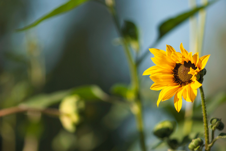 A cheerful, yellow sunflower begins to open against a blue sky in summertime.