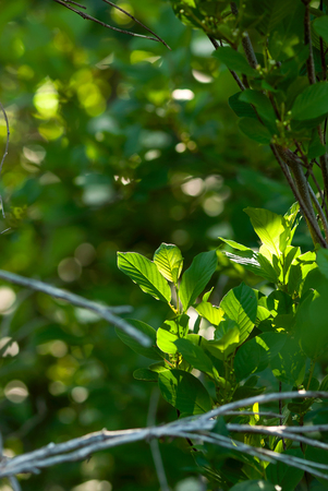 Green leaves glow as they grow on a tree branch in a forest.